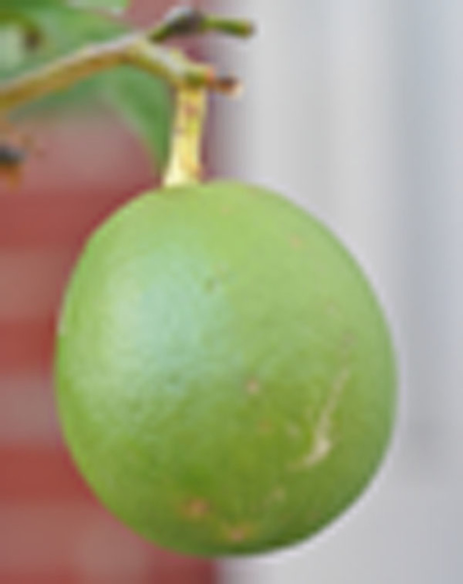 Citron (grown in a pot in my garden) Image:  Siu Ling Hui