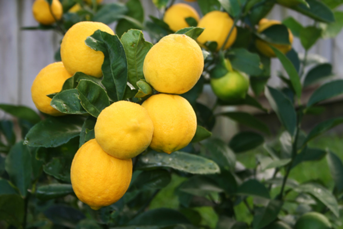Meyer lemons on tree. Image:  MattJones Shutterstock.com