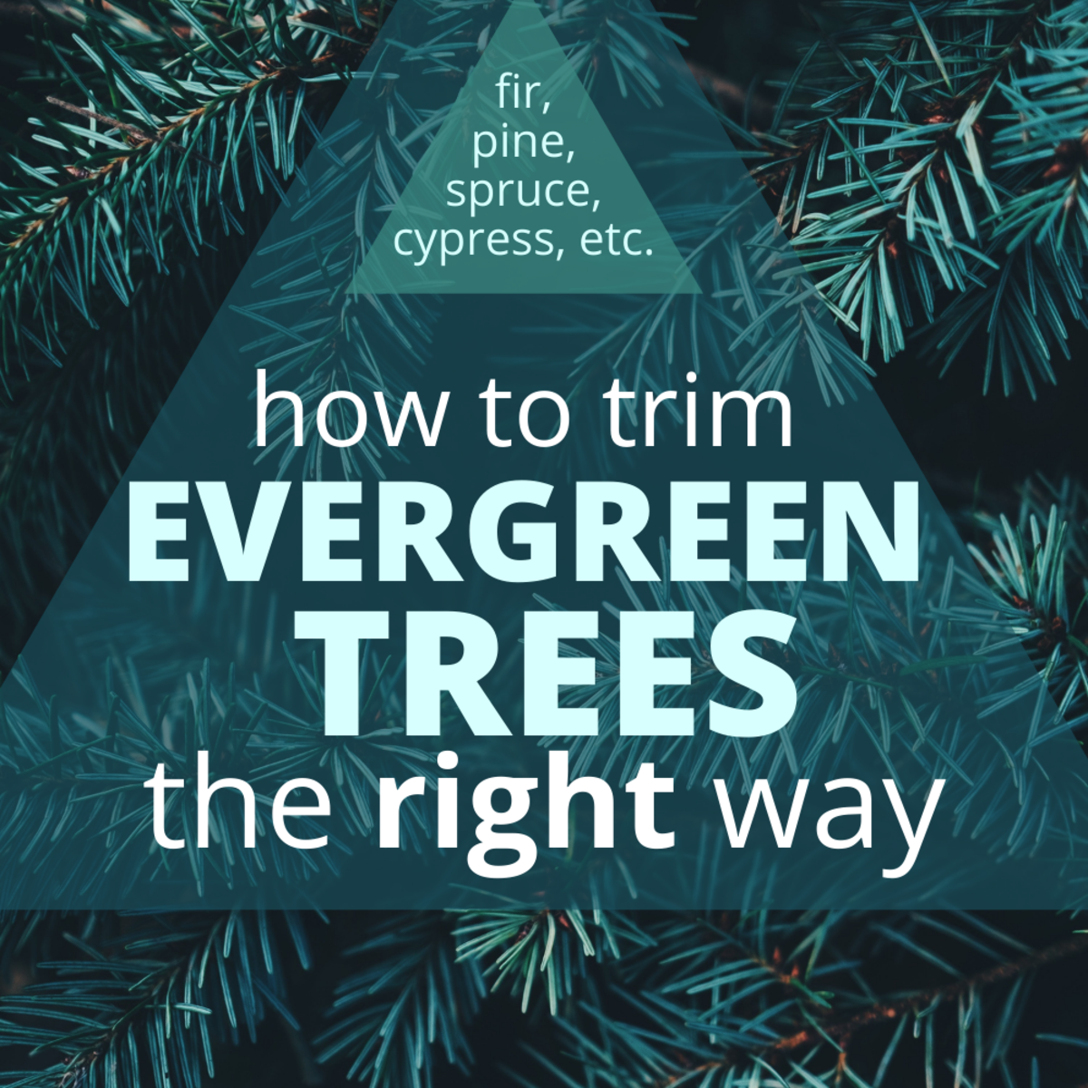 Learn which branches can you prune on an evergreen tree and how to do it.