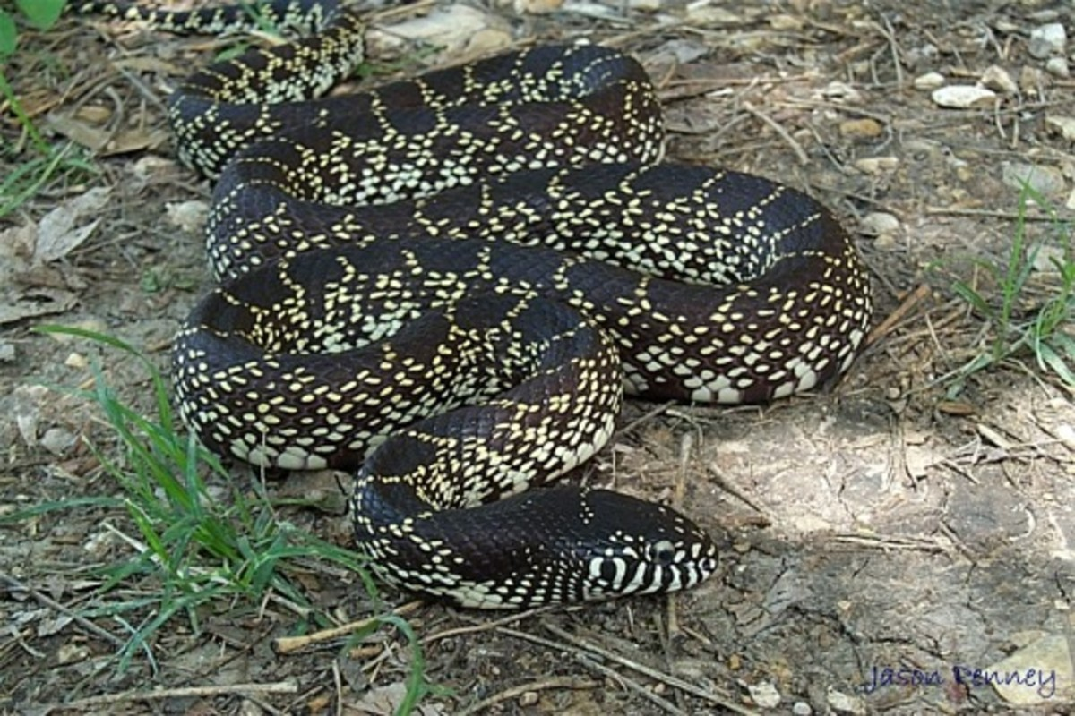 The King Snake. America's Pet Snake That Eats Venomous Snakes!