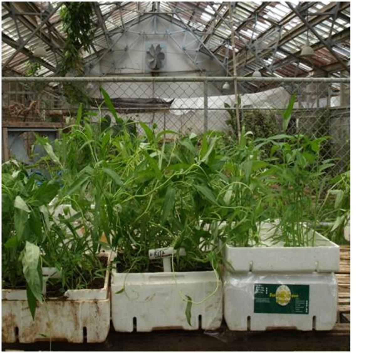 how-to-grow-kangkong-in-a-hydroponics-garden