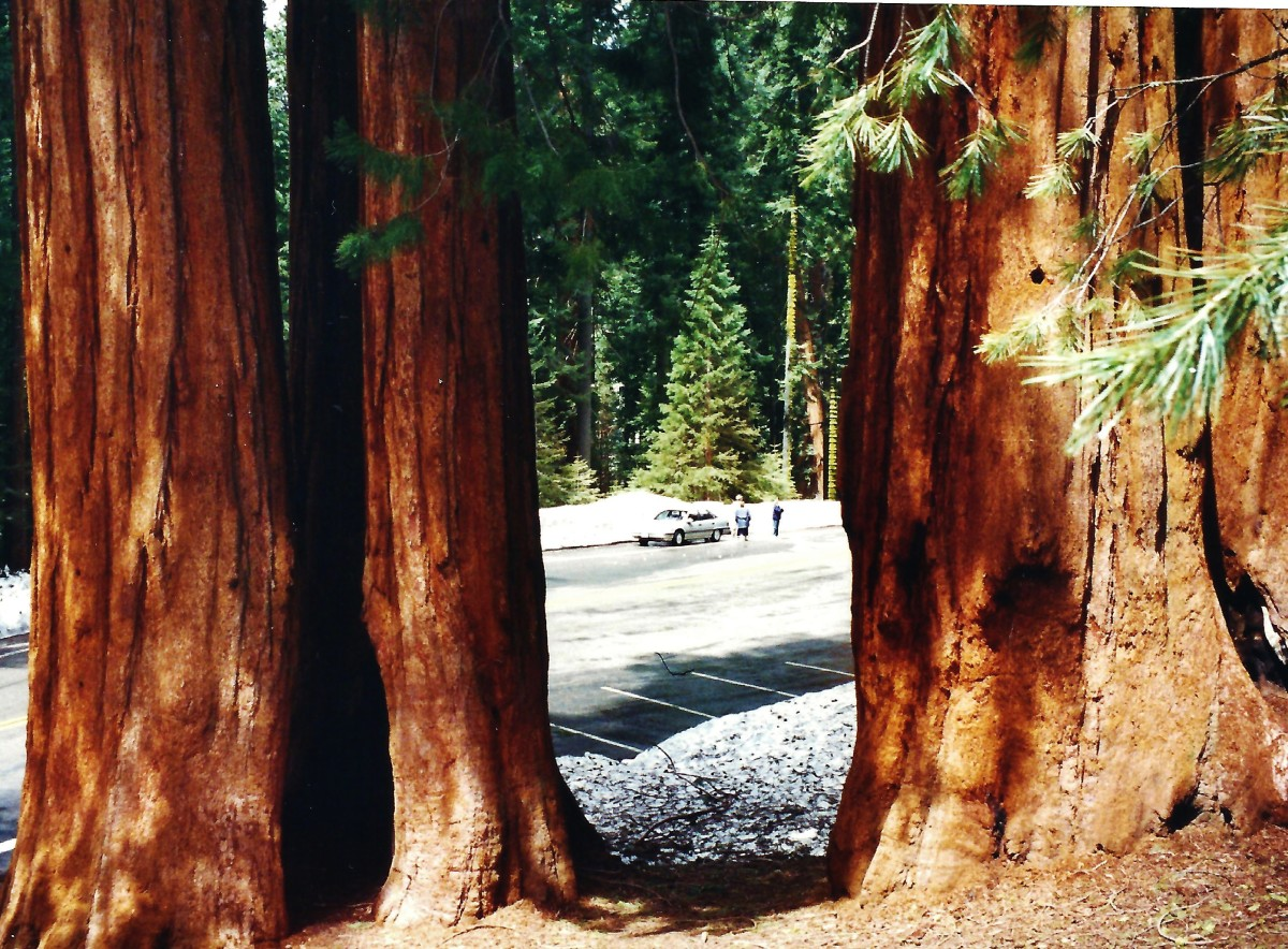 Looking through the sequoia trunks back at my car.  This was in late May at the time of our visit and snow was in the upper elevations of the park.