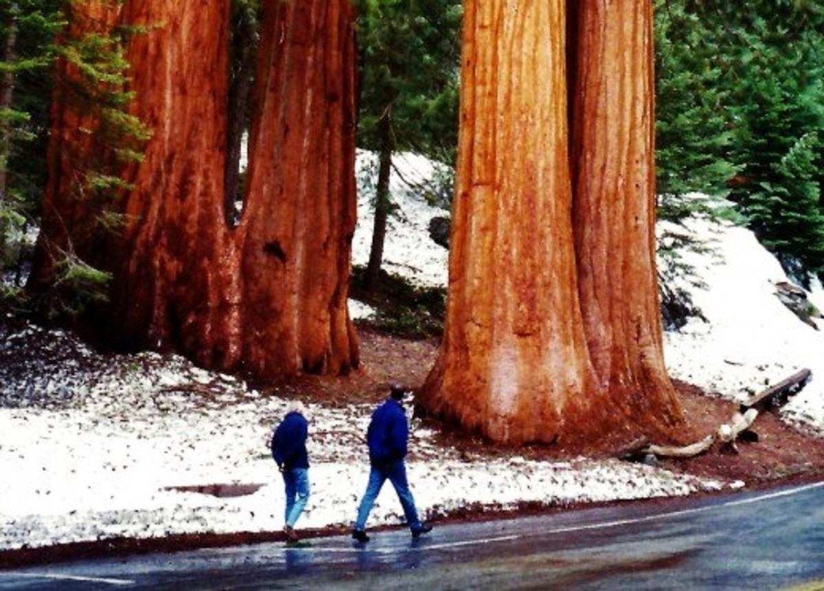 People walking by some sequoia trees which are by no means the largest ones, but impressive just the same!