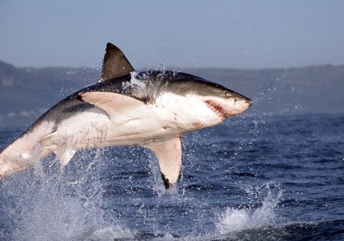 Great white sharks are known to jump out of the water while hunting seals in South Africa.  But never has one jumped onto a boat before ...