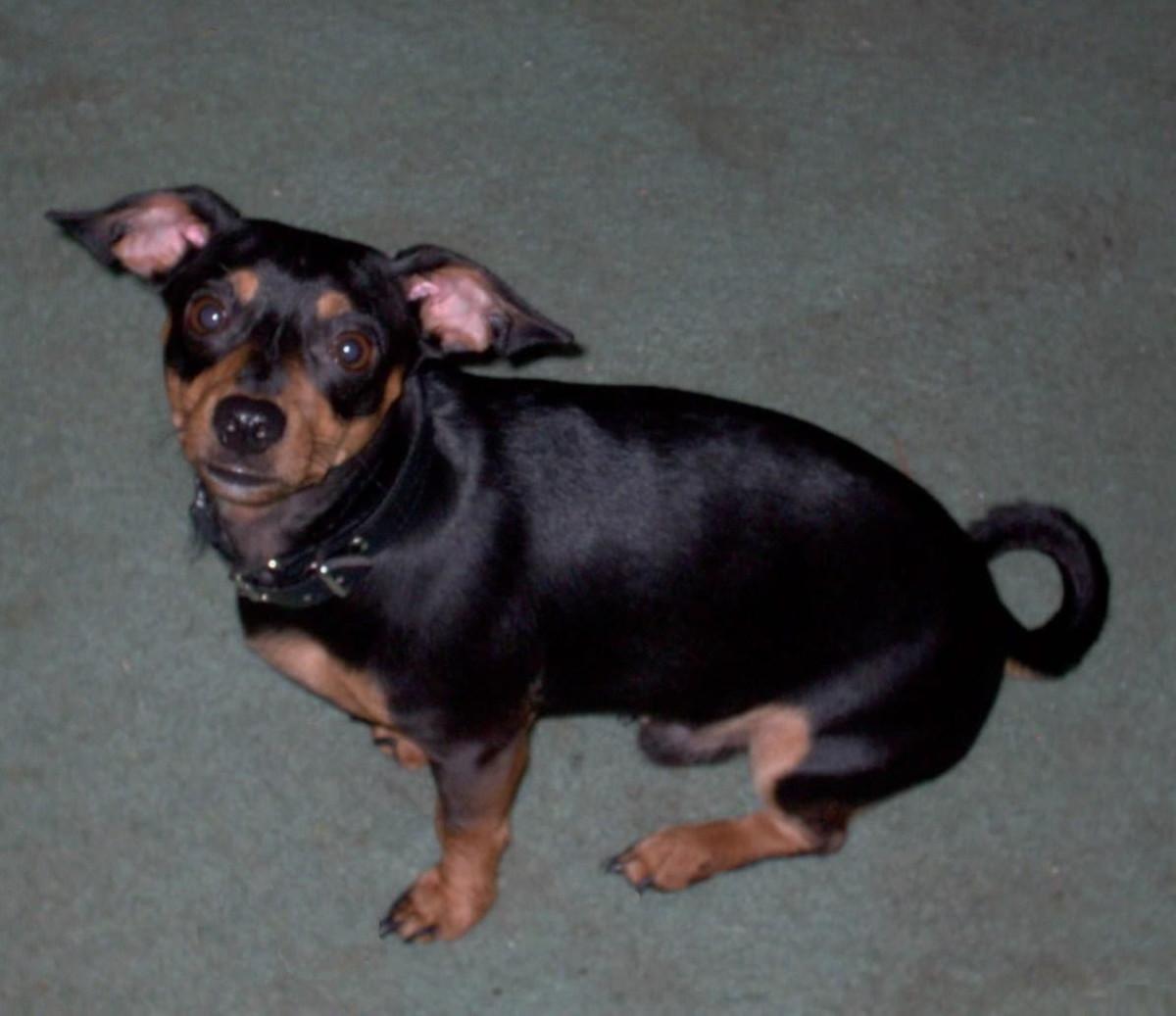 raising-one-spoiled-chiweenie-dog