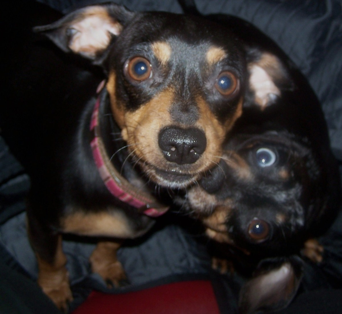 Frankie the mini Doxie gnaws on his jaws like a mother grooming her son. She looks like his real mom. Frankie has been around him for almost 4 years , because she belongs to my daughter.