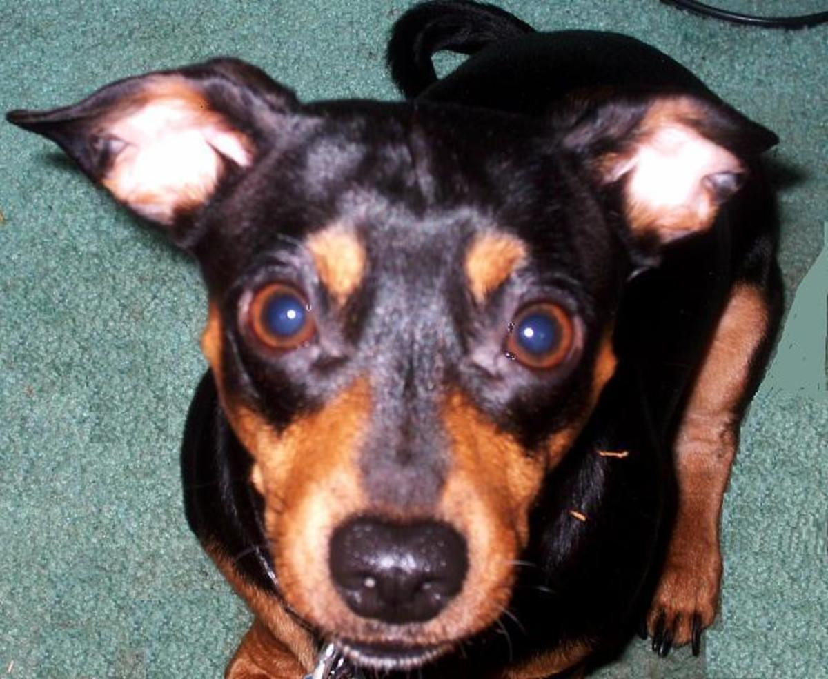 My house hears the voice of one little Chiweenie named Chi Chi.