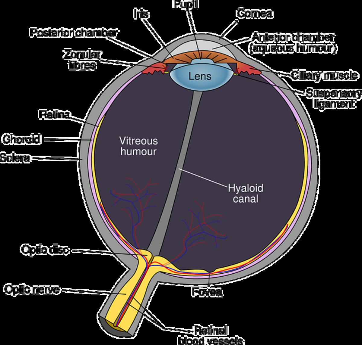 Diagram of normal eye ball