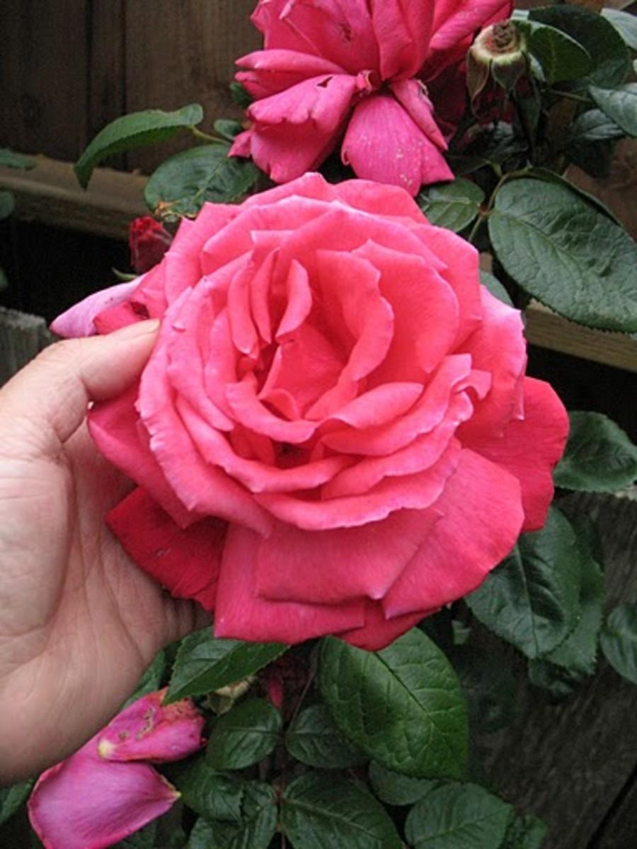 Big bloom rose, all pink in Garden of Five Senses, Mehrauli