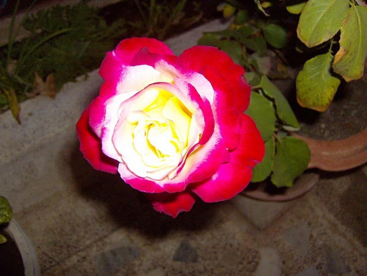 Found Double Delight Rose with awesome fragrance.