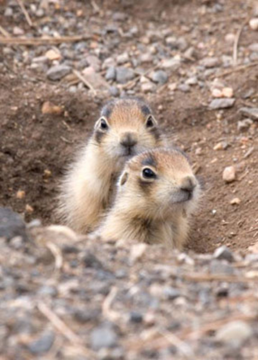 A relative of the ground squirrel, there are only 5 species of prairie dog in the world, all of which are found in North America.