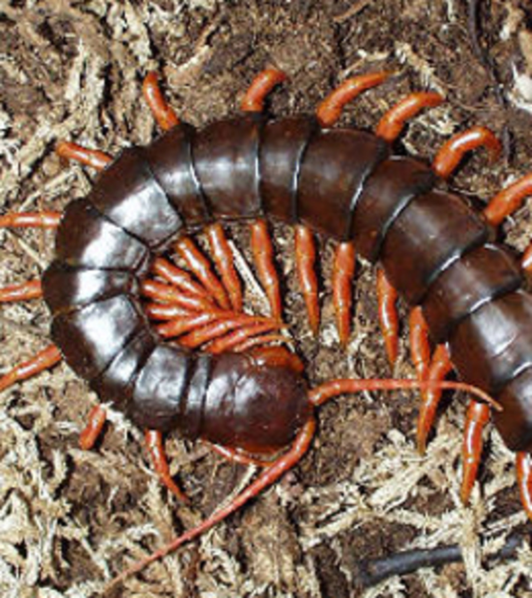 Centipedes are not only scary to look at but they are highly poisonous as well. Don't ever dream of sharing a bed with one because if might mean the end of your jungle adventure.