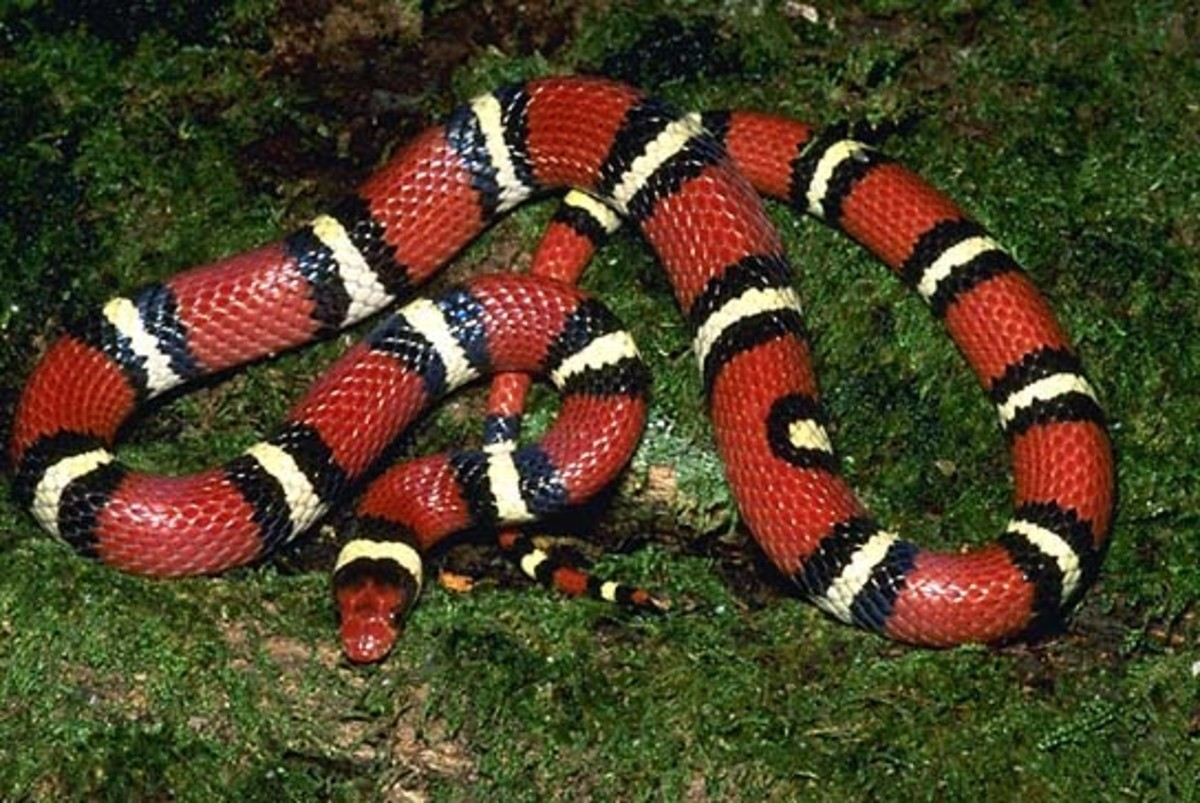 Scarlett King Snakes are beautiful and available for sale in the U.S.A. They can be confused with the poisonous Coral Snake that is native to the Southeastern U.S.A.