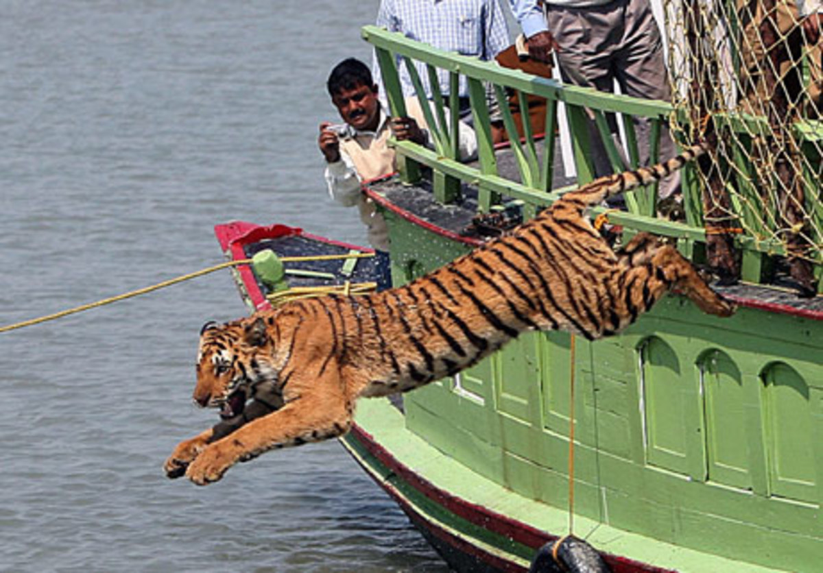 A captured tiger being released back into the wild by fishermen