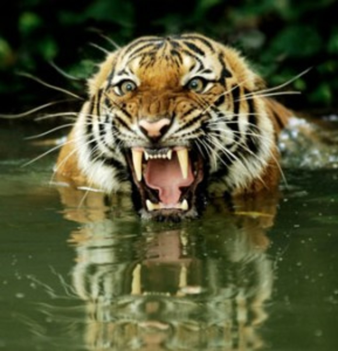 THE TIGER NEXT DOOR Living with man-eating Tigers