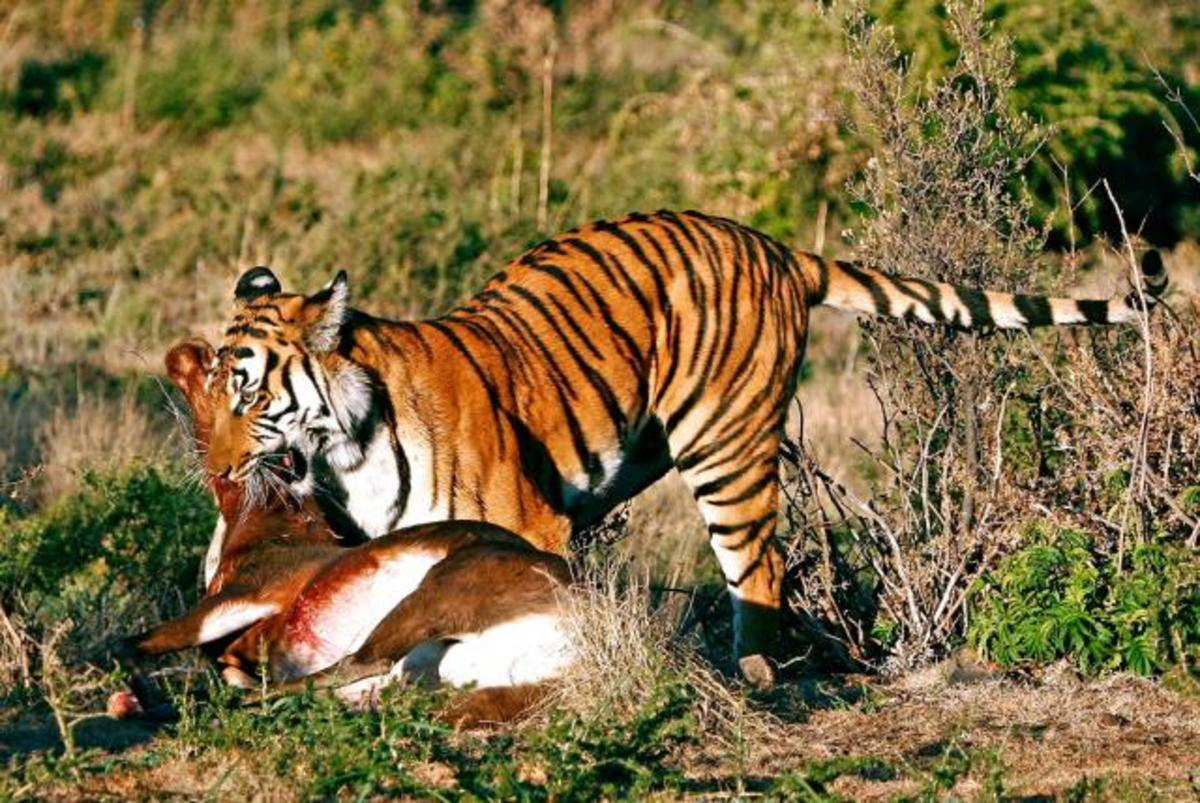 Tiger eating a Spotted Deer