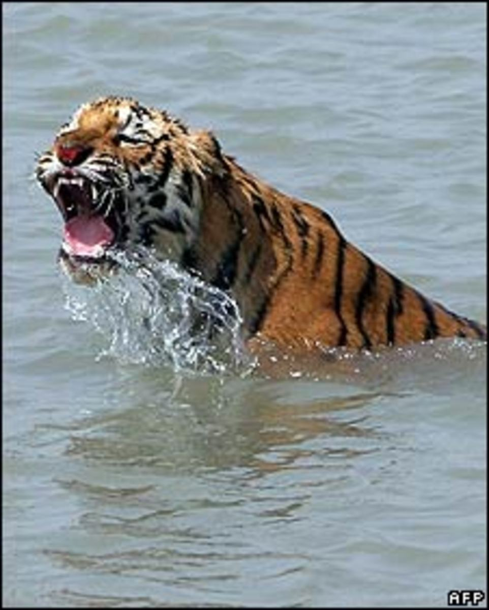 Tigers have been observed swimming for miles to search for food