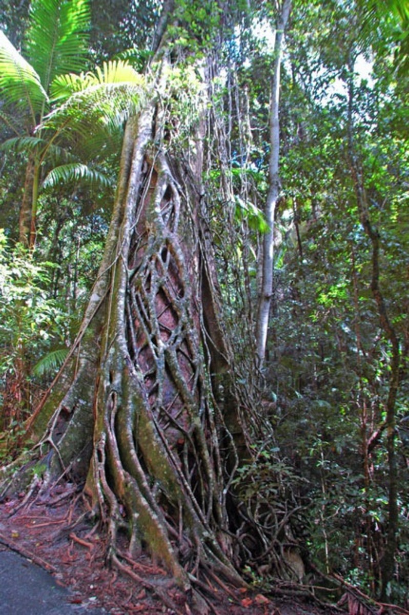 Strangler Figs: When Hugging Becomes Too Much