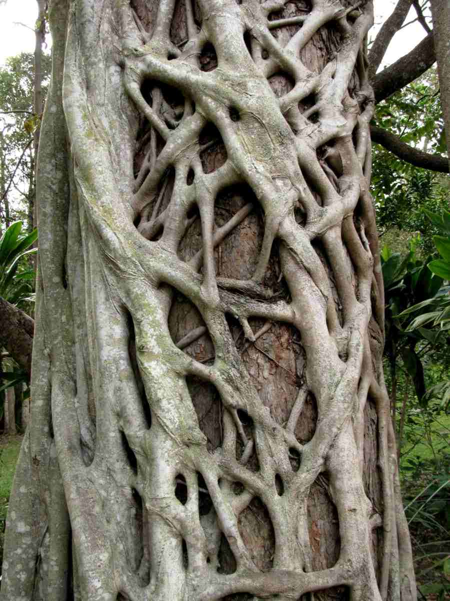 Closer look on a strangler fig root network system.