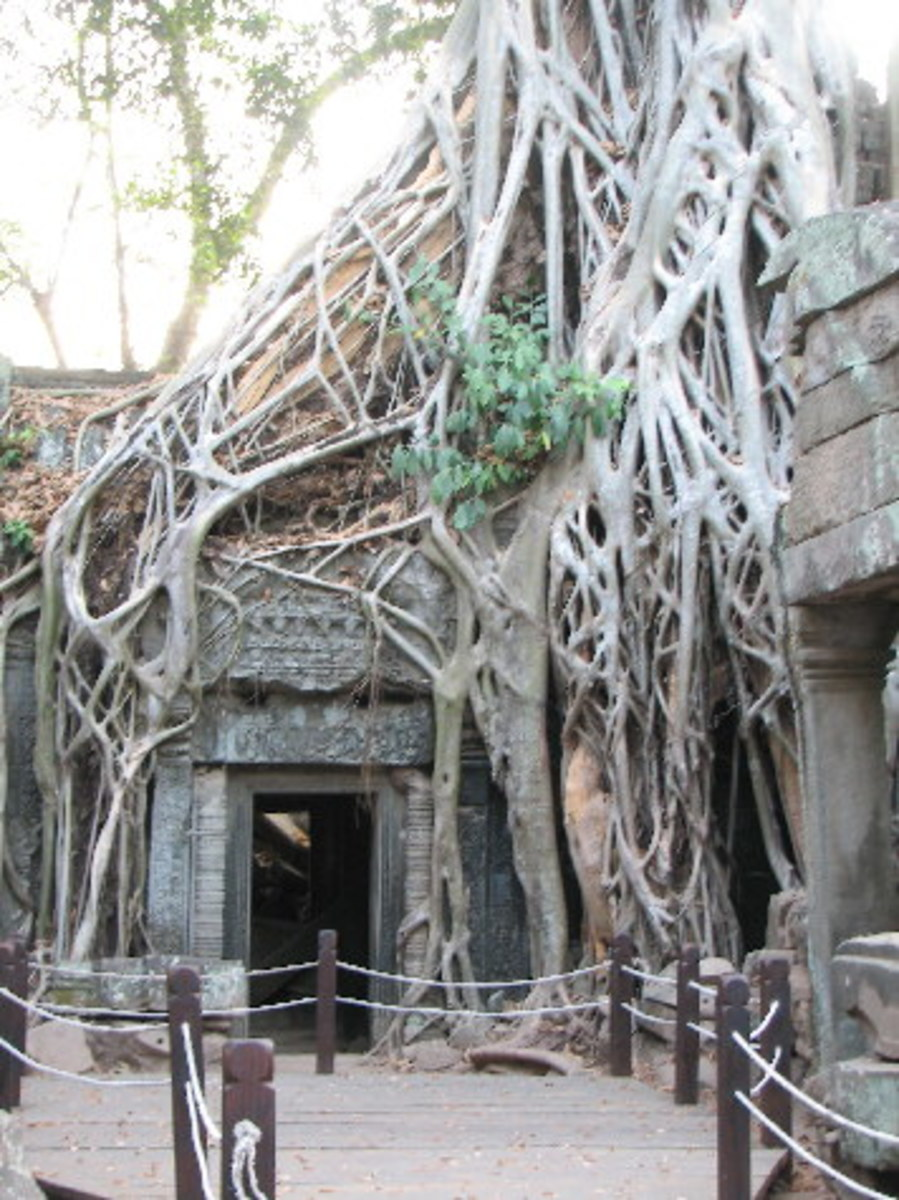Strangler fig on a Angkor Wat temple walls in Cambodja.