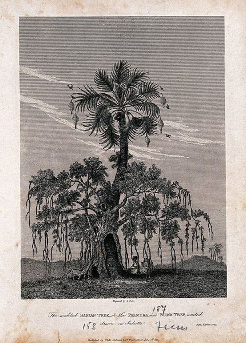 Eighteen century drawing of a Banyan.