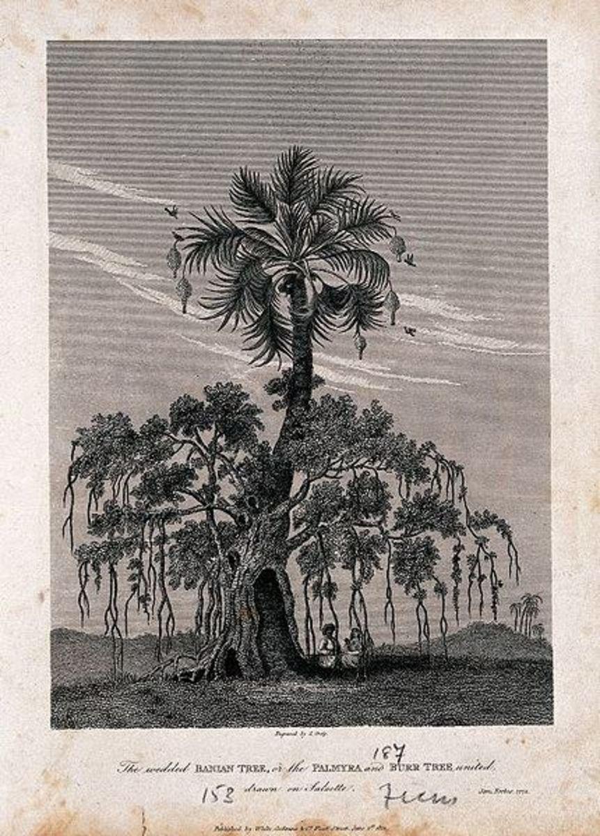Eighteen century drawing of a Banyan.