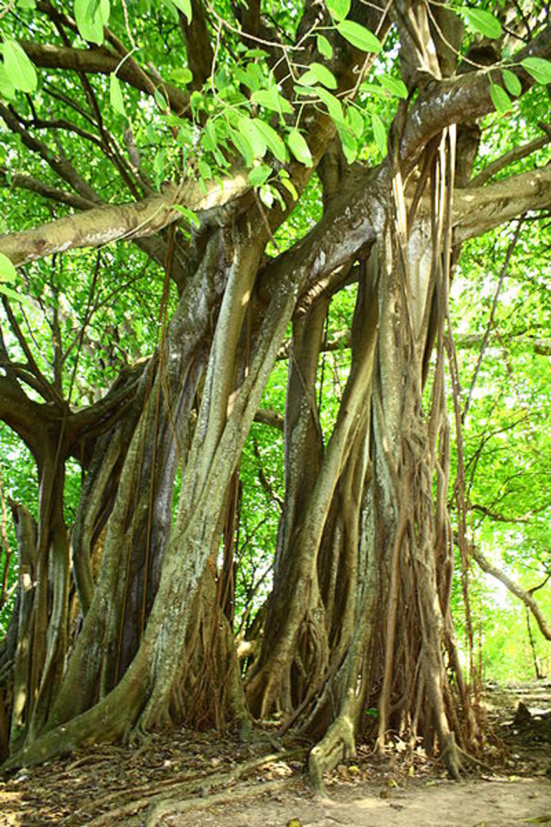 Another strangler fig specimen, this with aerial root system serving as aditional trunks.