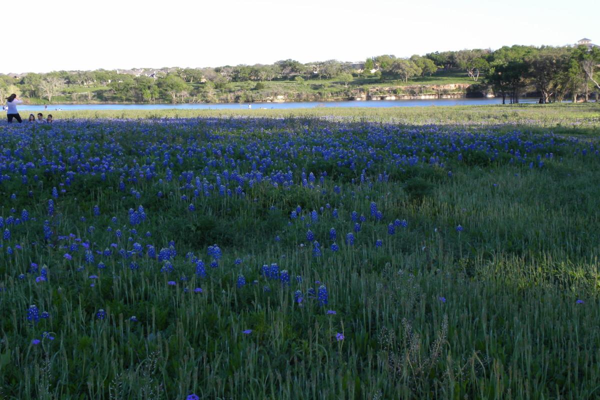 Bluebonnets Brushy Creek Park Cedar Park TX