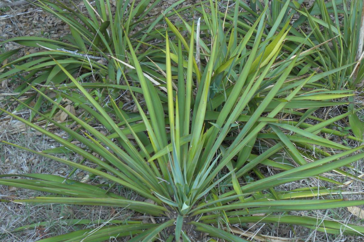 Trail Marker for  Twist Leaf Yucca  - Brushy Creek Sports Park - Cedar Park TX