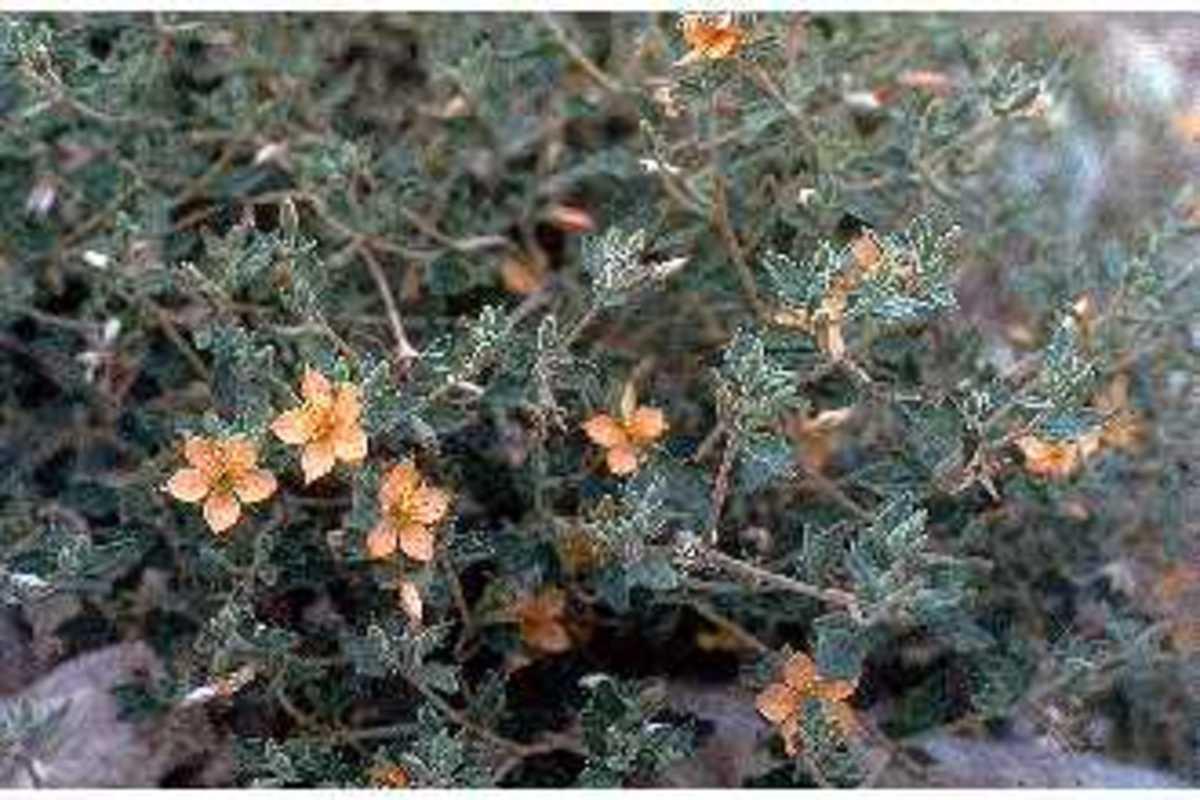 Mentzelia oligosperma - Stick Leaf  - Brushy Creek Sports Park - Cedar Park TX