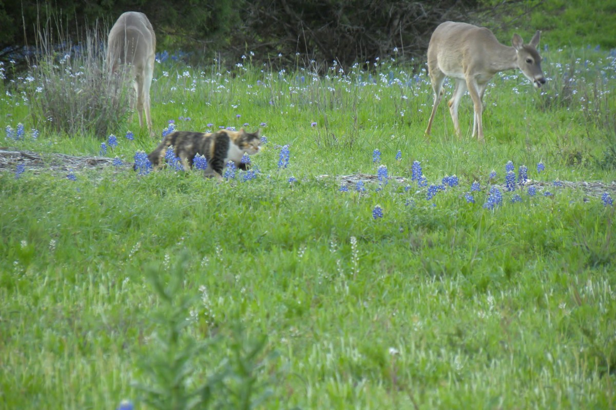 Deer and Cat play in the Bluebonnets  Brushy Creek Park Cedar Park TX