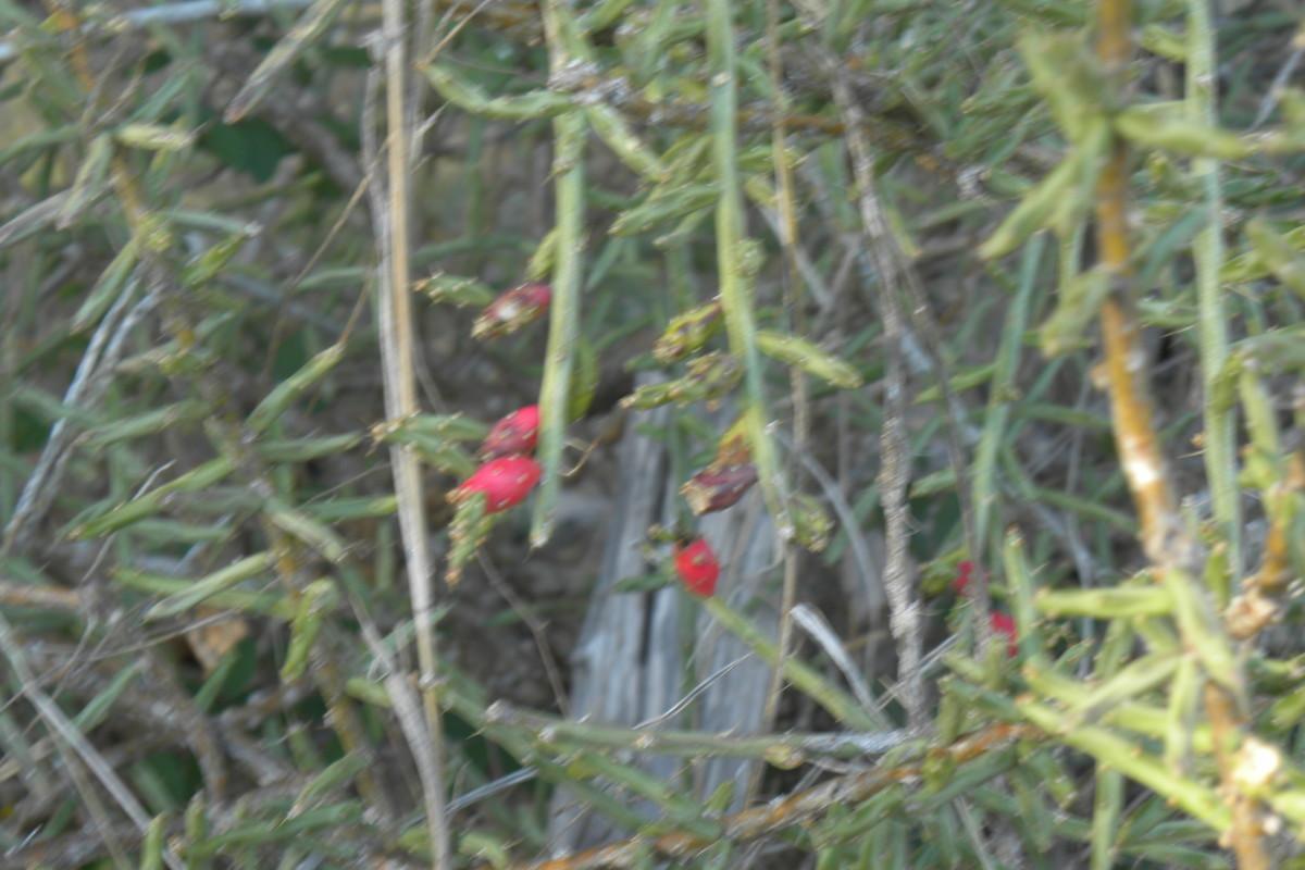 Cylindropuntia leptocaulis - Pencil Cactus - Brushy Creek Sports Park - Cedar Park TX