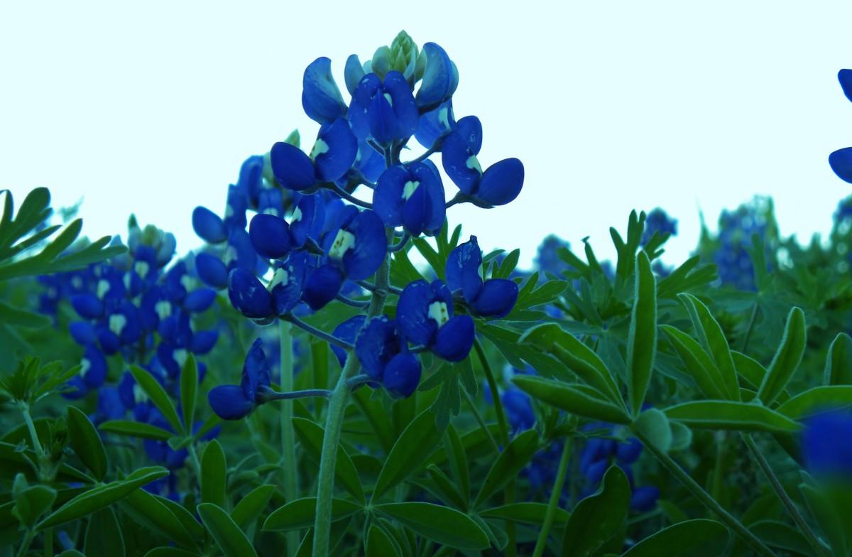Texas Bluebonnets Brushy Creek Park Cedar Park TX