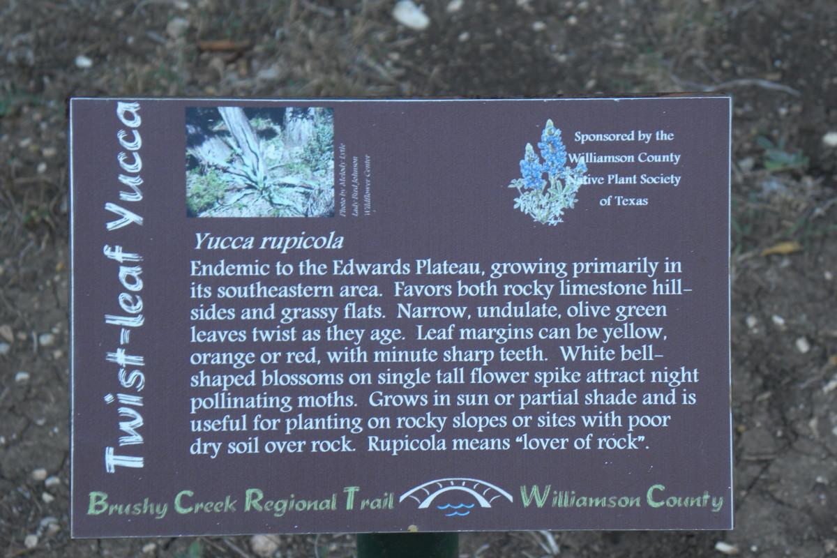 Yucca rupicola --Twist Leaf Yucca  - Brushy Creek Sports Park - Cedar Park TX