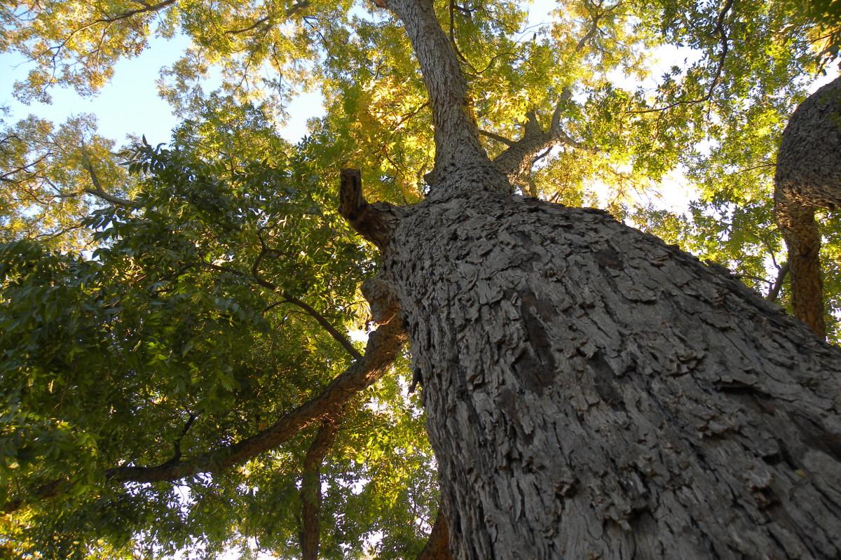 Carya illinoinensis - Pecan Tree  - Brushy Creek Sports Park - Cedar Park TX