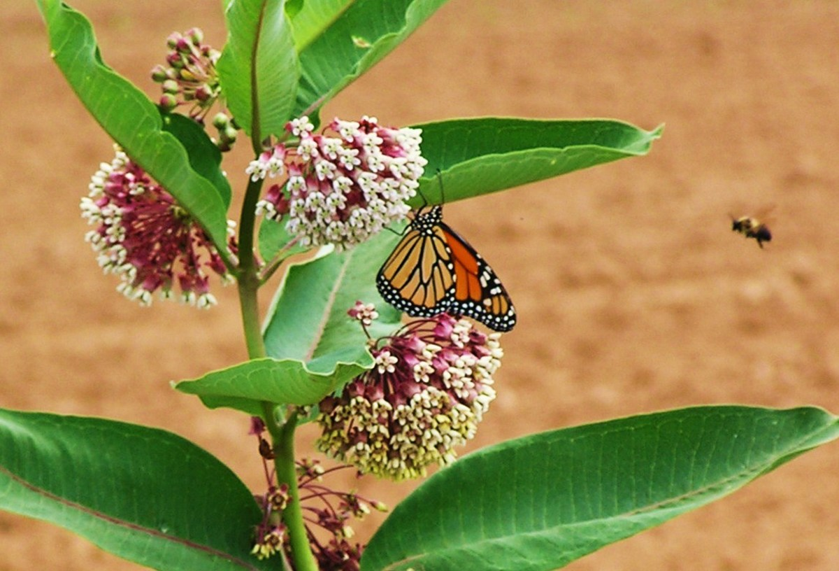 Competition for nectar from a Milkweed plant in the meadow.