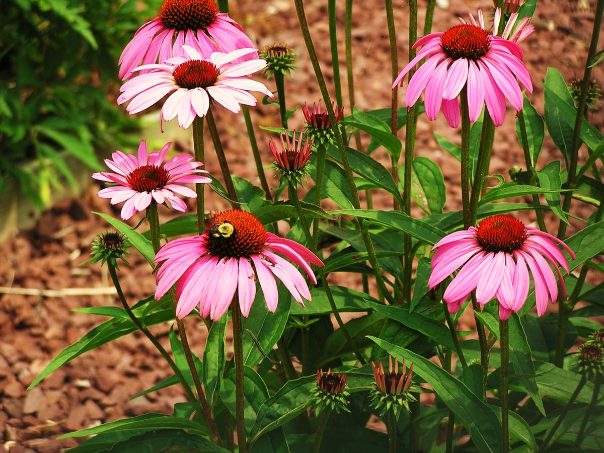 A busy bee on purple Echinacea.