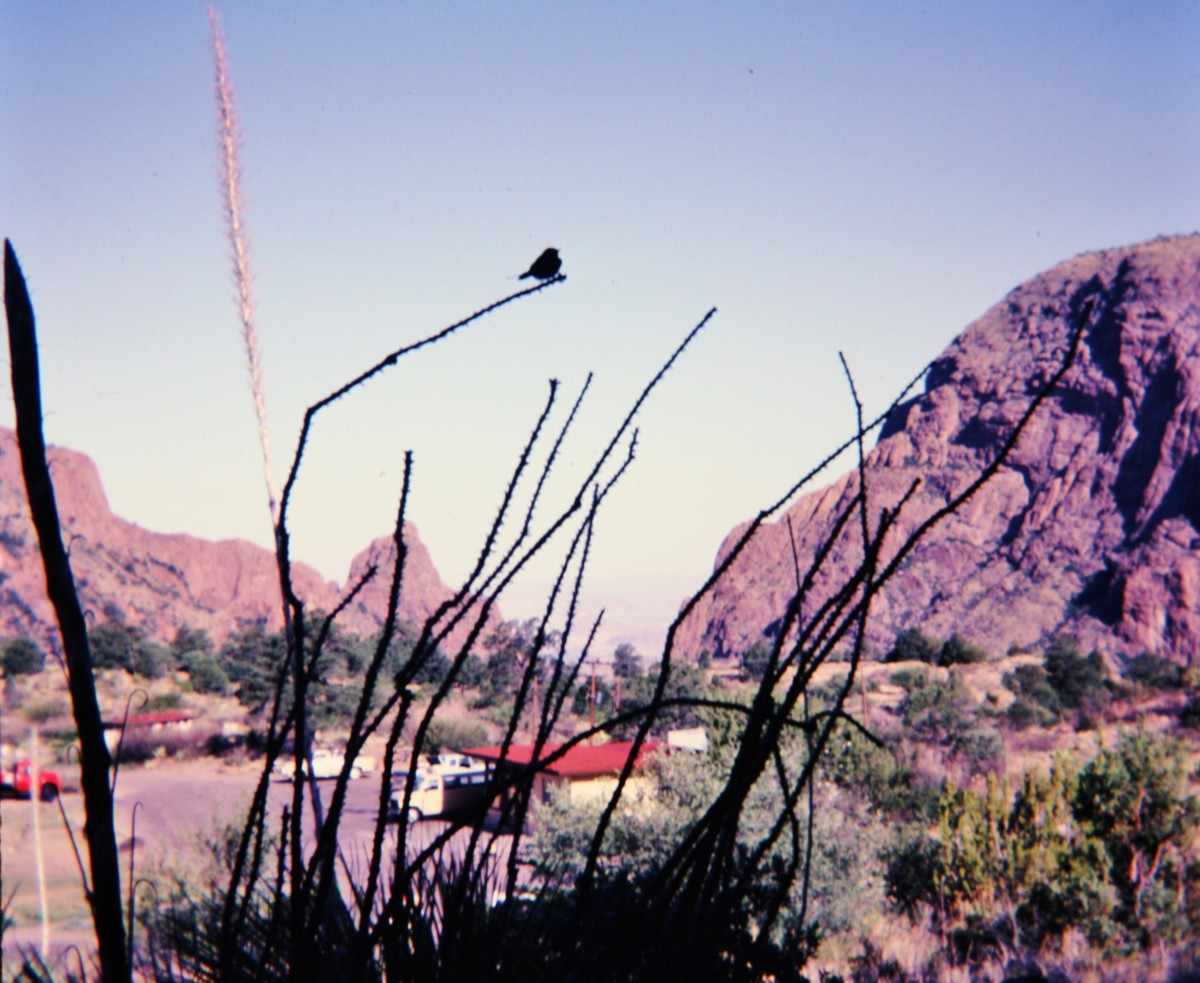 Bird sitting on cactus within the Basin.  Worker's cars and buildings below.