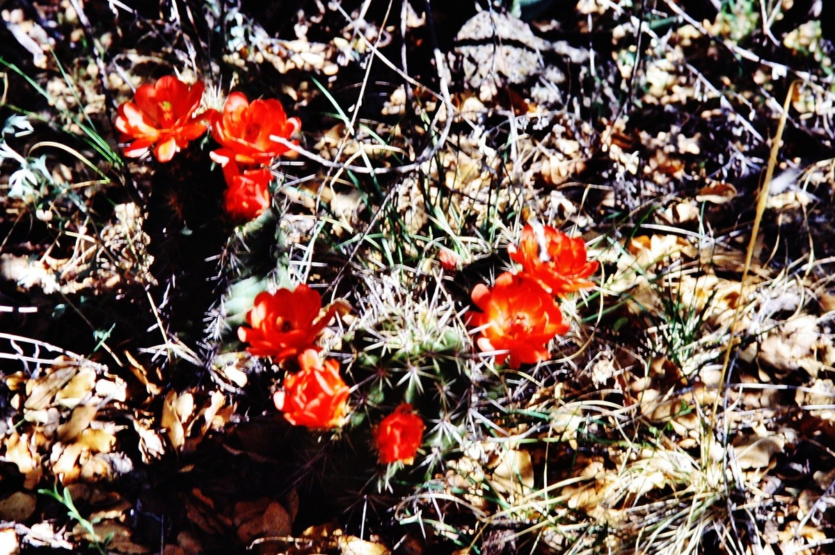 Blooming cactus in Big Bend National Park