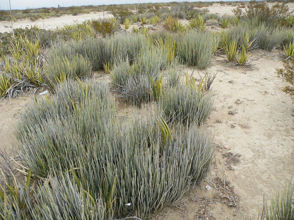 Candelilla plant (Euphorbia antisyphilitica)