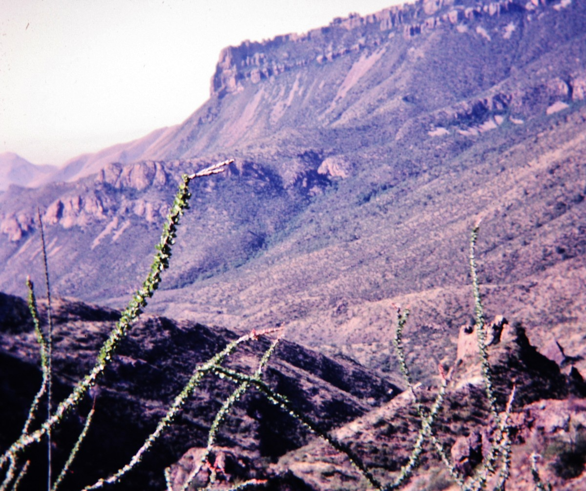 Ocotillo cactus in foreground of Big Bend National Park.