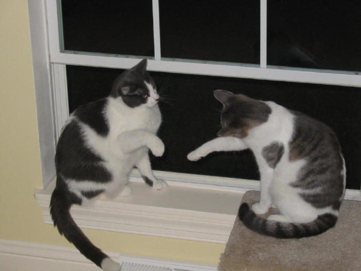 """Sassy playing"" with one another.Misty has her paw outstretched... Dixie is not sure about it!"