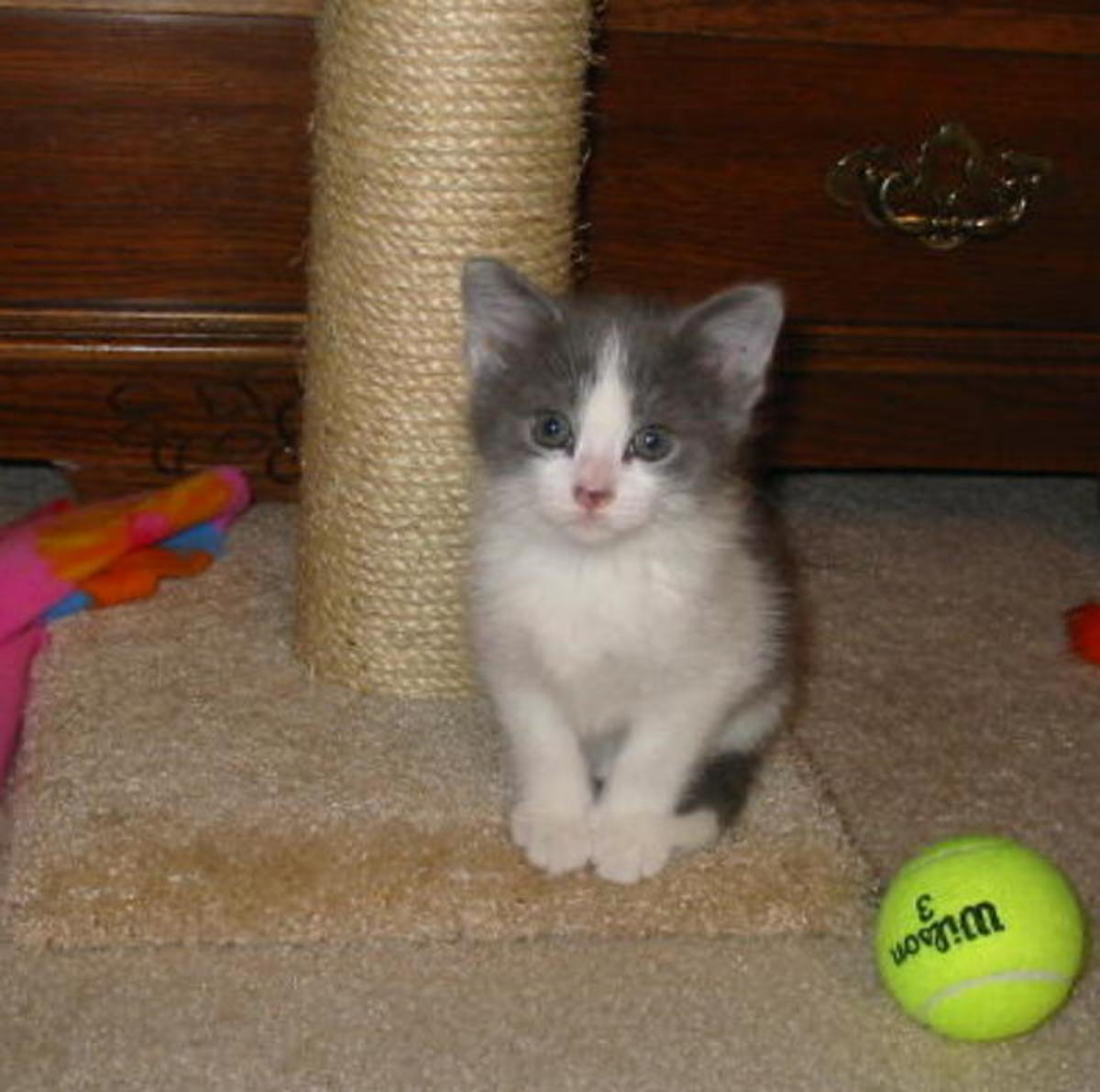Dixie as a little kitten... as she grew, her nose turned almost completely black instead of pink.