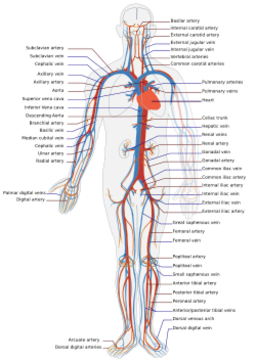 Here is a photo diagramming the human circulatory system. Click The Photo For Full Size Photo.