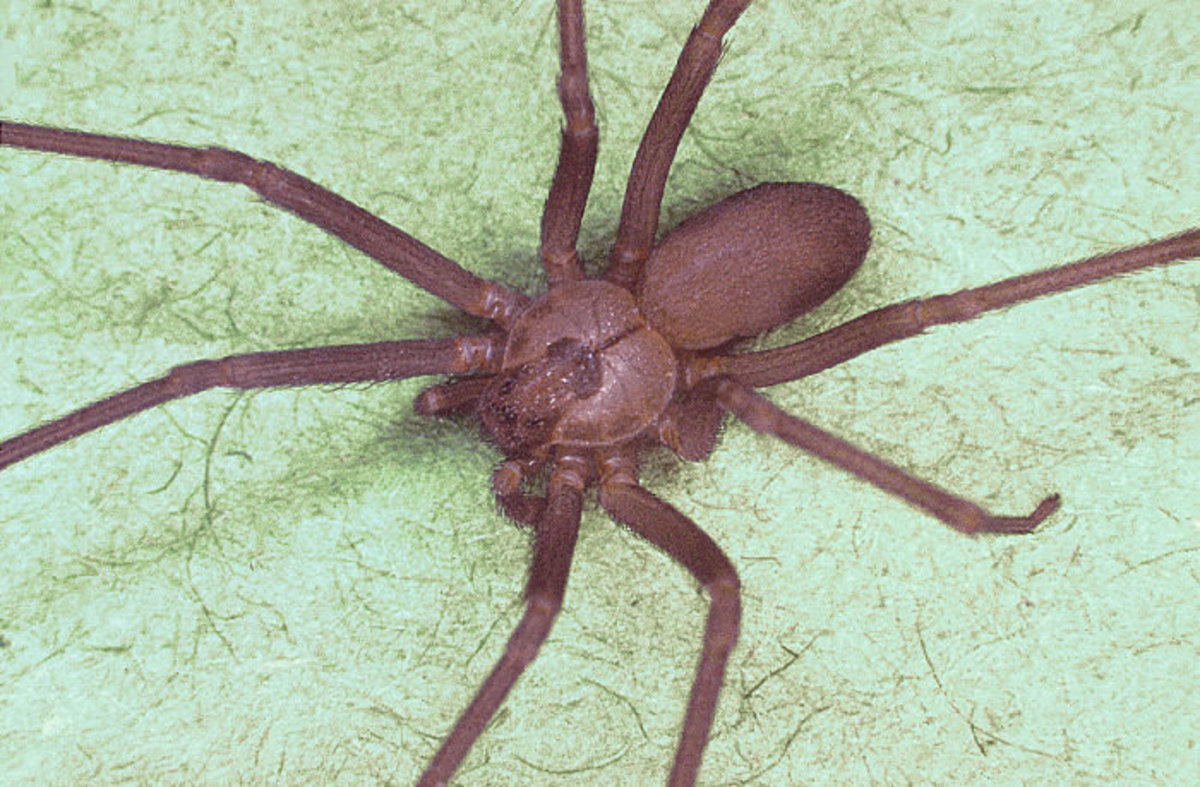Picture of Spider:- Brown Recluse