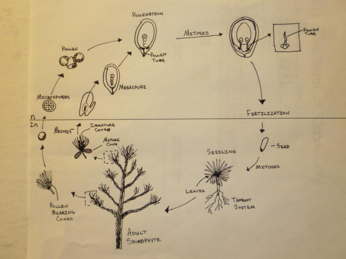 Gymnosperm Life Cycle.