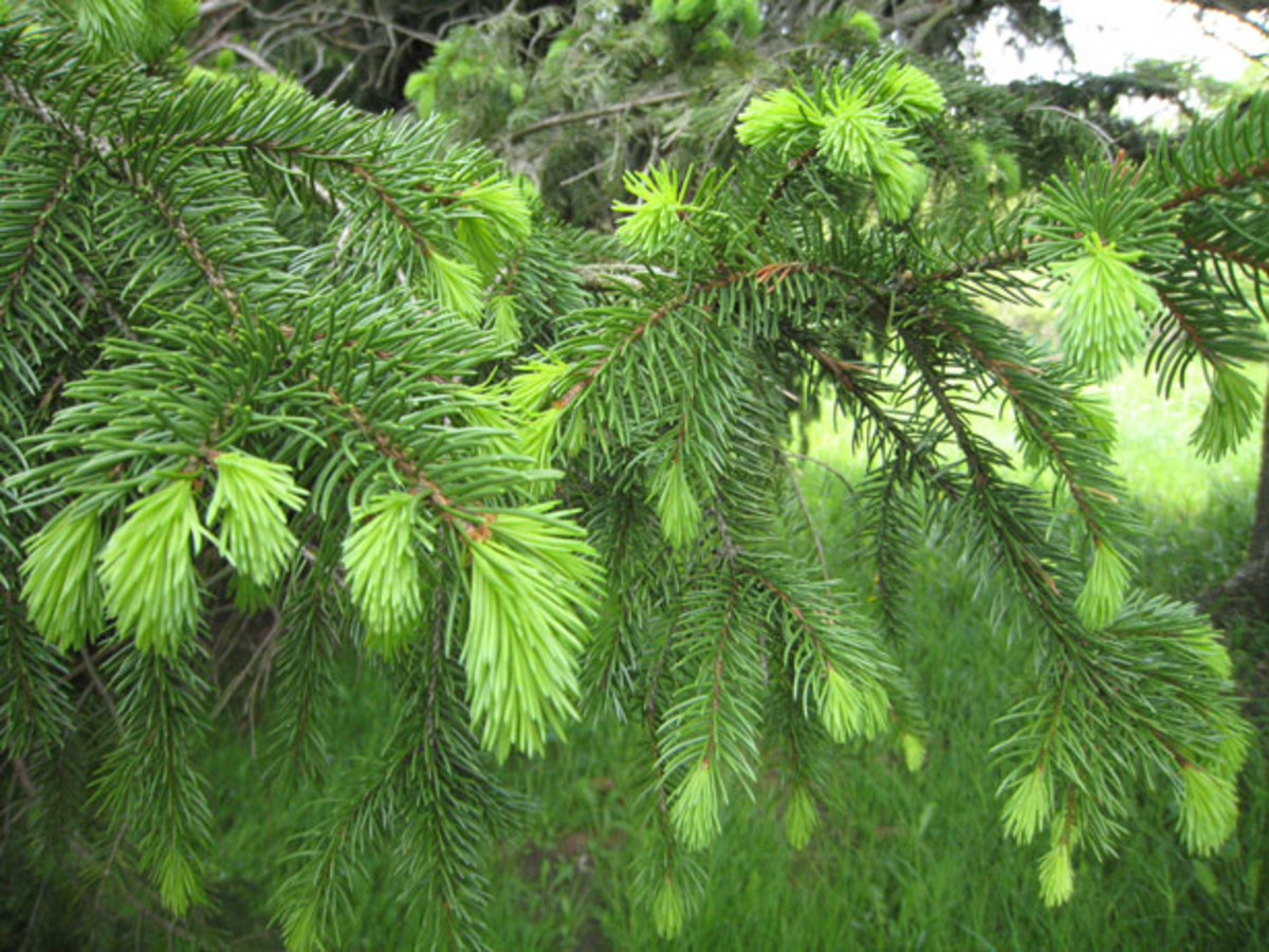 Pines are the Perfect example of Gymnosperms. New Growth On Pine Tree by Sharee Basinger