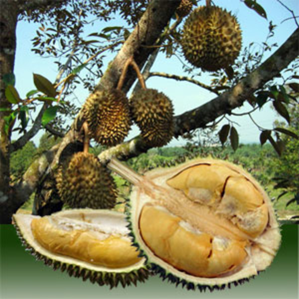 Durian fruits are borne on lateral branches. An opened fruit showing the edible arils or flesh or pulp