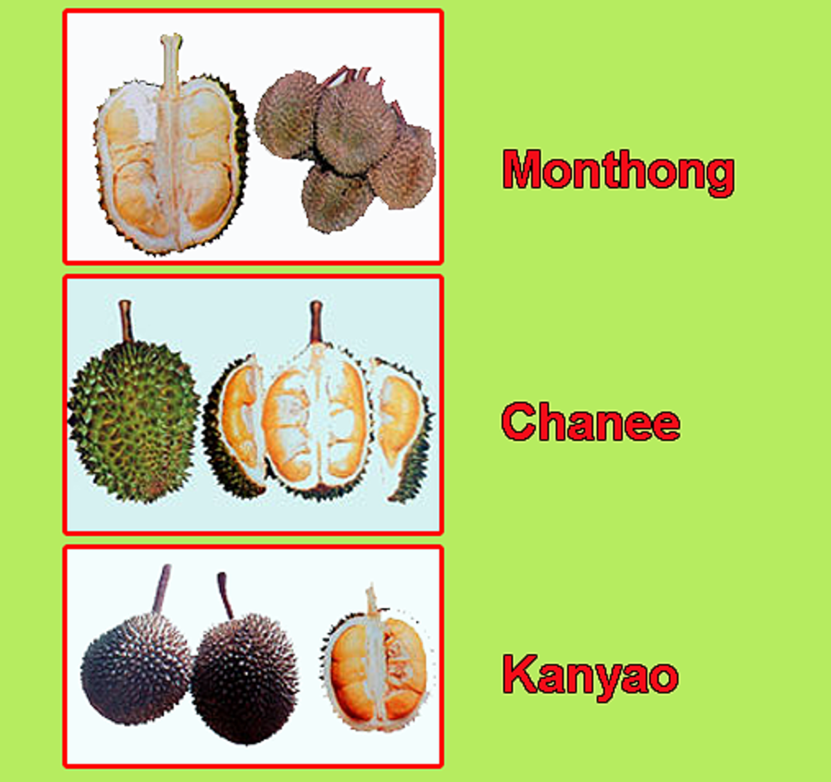 Thailand's popular durian varieties - Monthong, Chanee and KanYao
