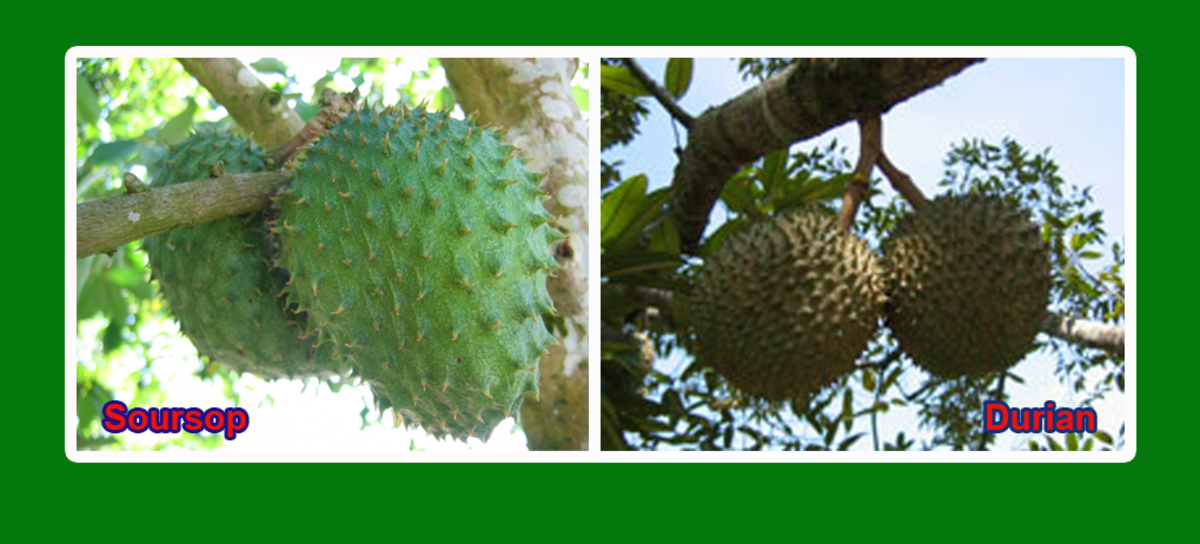 The soursop vs durian - the pretender against the true king of tropical fruits